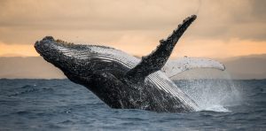Avistamiento de ballenas Puerto Vallarta Jalisco